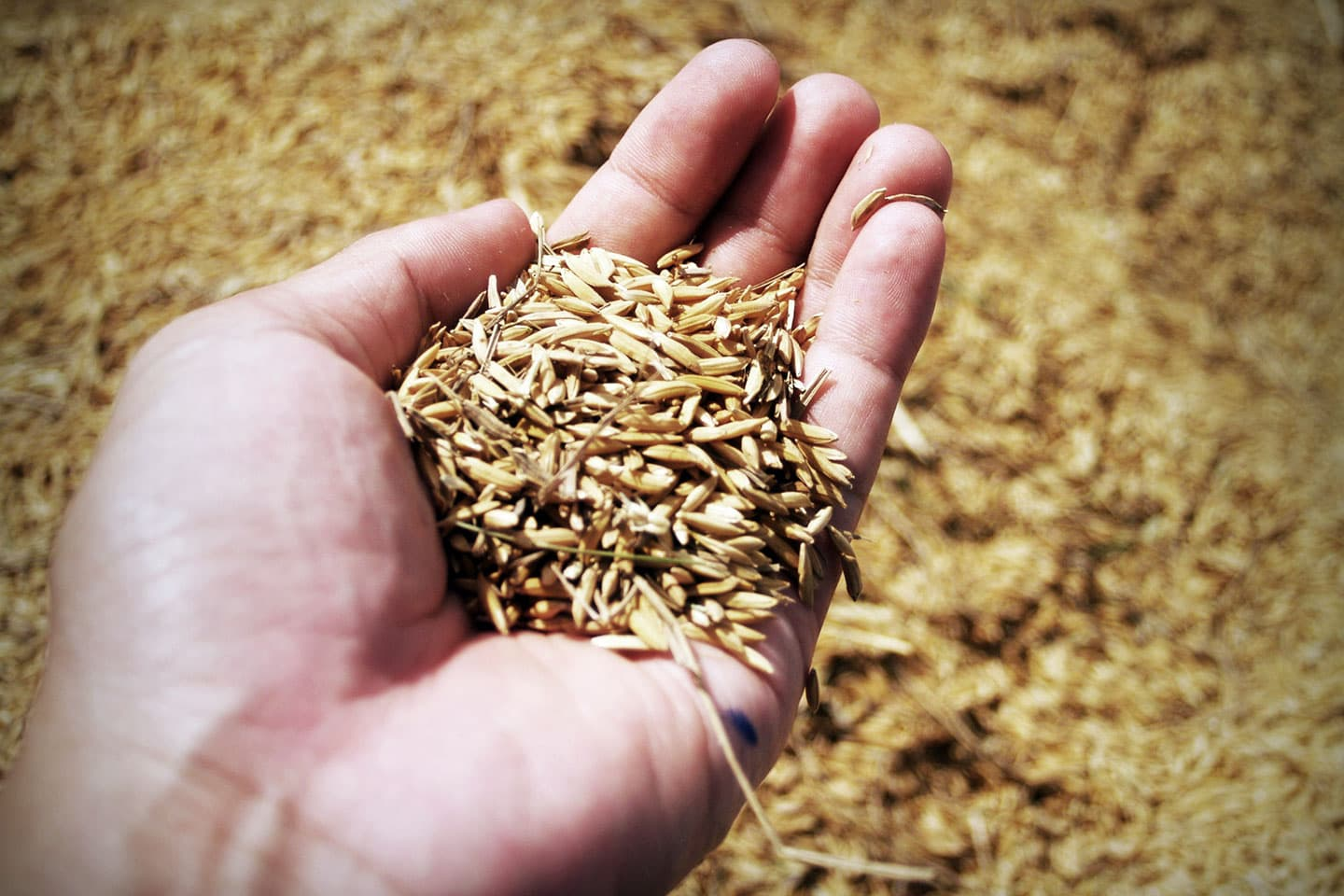 a person holding a handful of grain